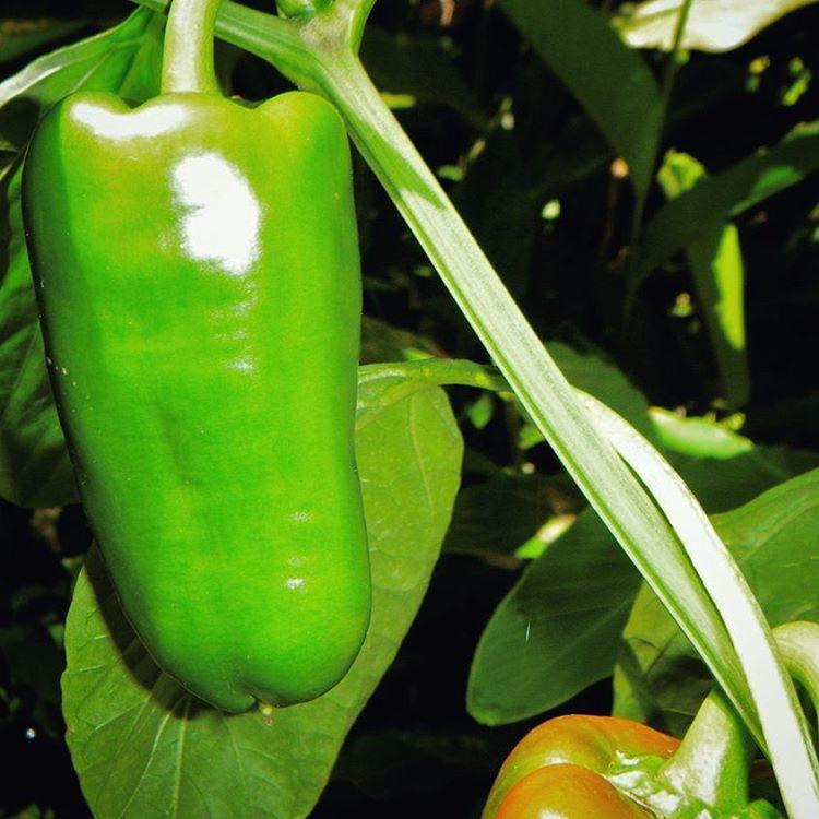 Copy of Bell Pepper