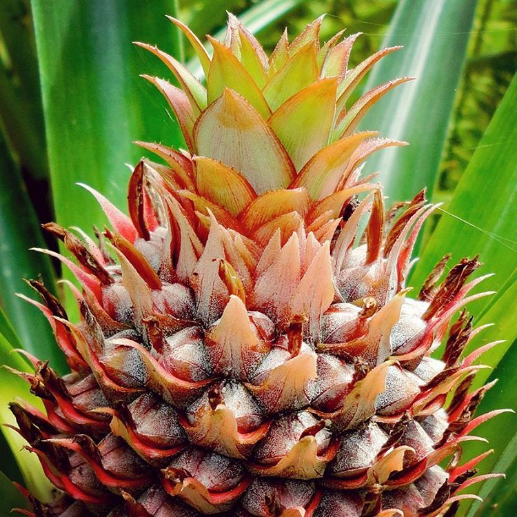 Copy of Immature Pineapple
