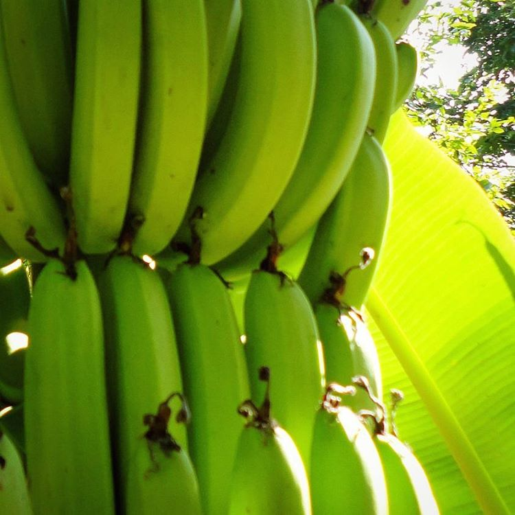 Copy of Bananas