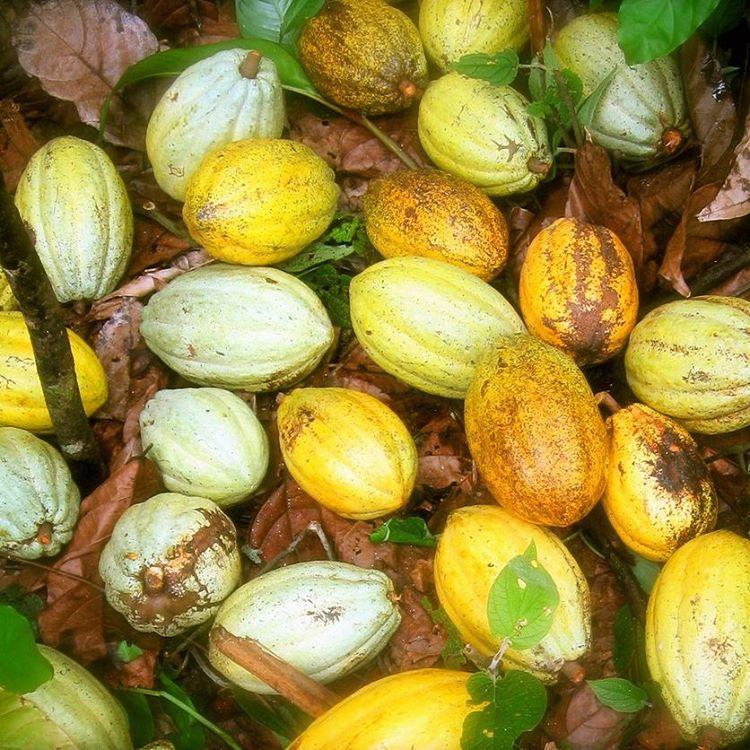 Copy of Cacao