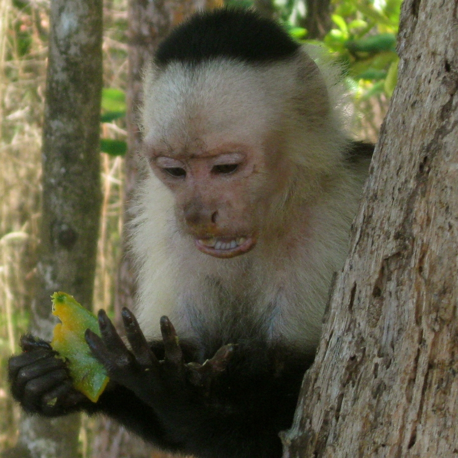 White-Face Capuchin Monkey
