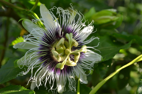 Copy of Passion fruit flower