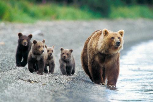 Ours du Kamchatka.jpg