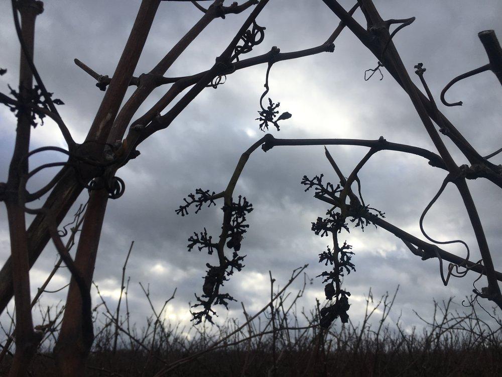 Les silhouettes des vignes dénudées à l'approche de Reims