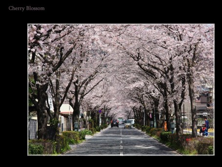 cherry_blossom_4_resize-455x341.jpg