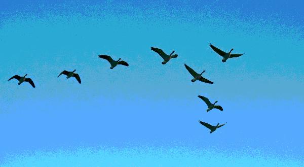 geese-flying.jpg