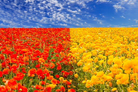 Carlsbad Flower Fields - PhotoExtract featured photogrpher