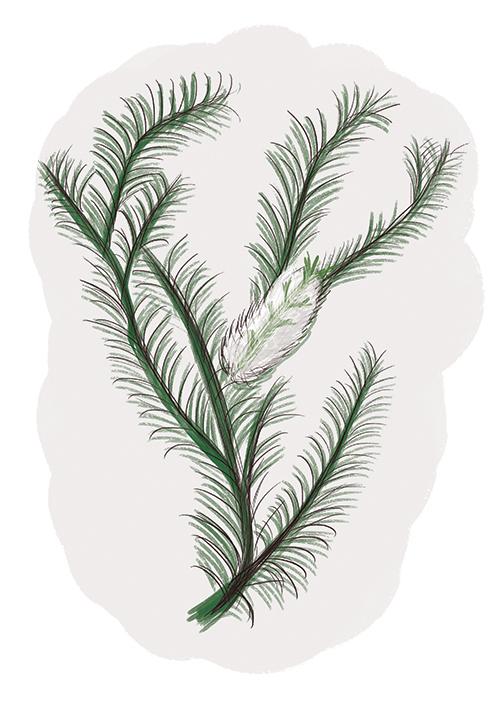 myrtaceae family copy.jpg