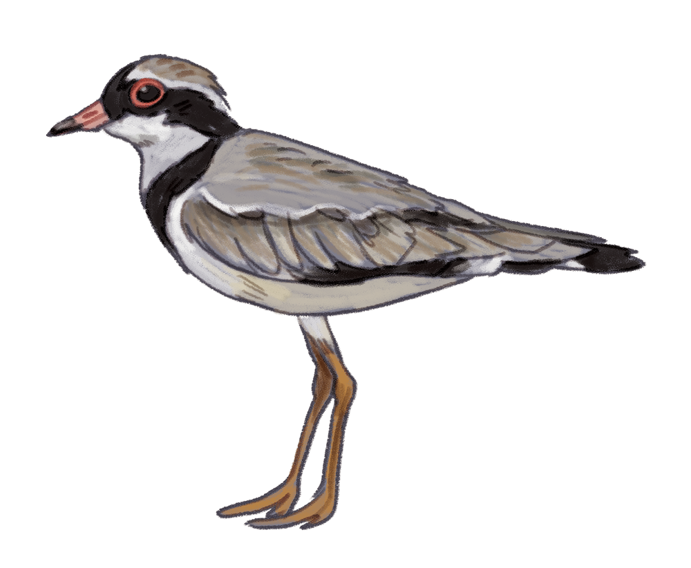 Black-fronted_dotterel.png