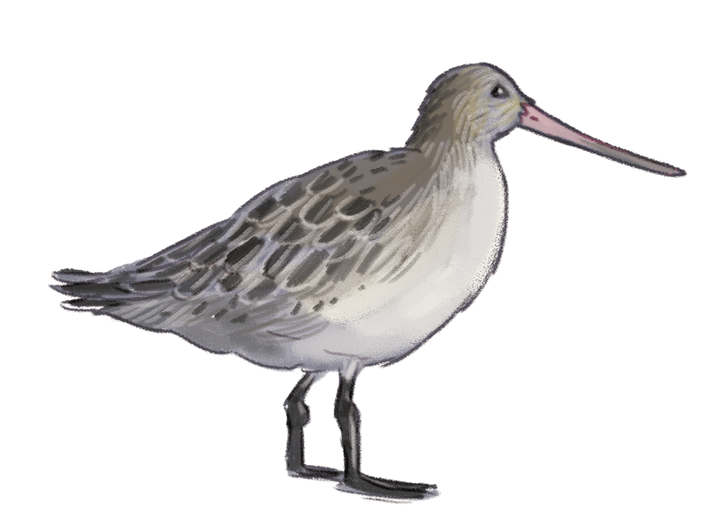 Bar-tailed-godwit.png