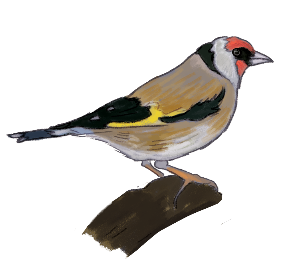 european-Goldfinch.png