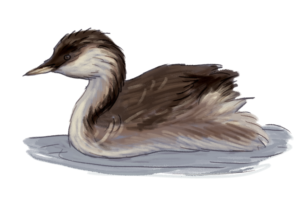 Hoary-Headed-Grebe.png