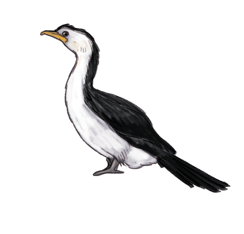 little-pied-cormorant.png