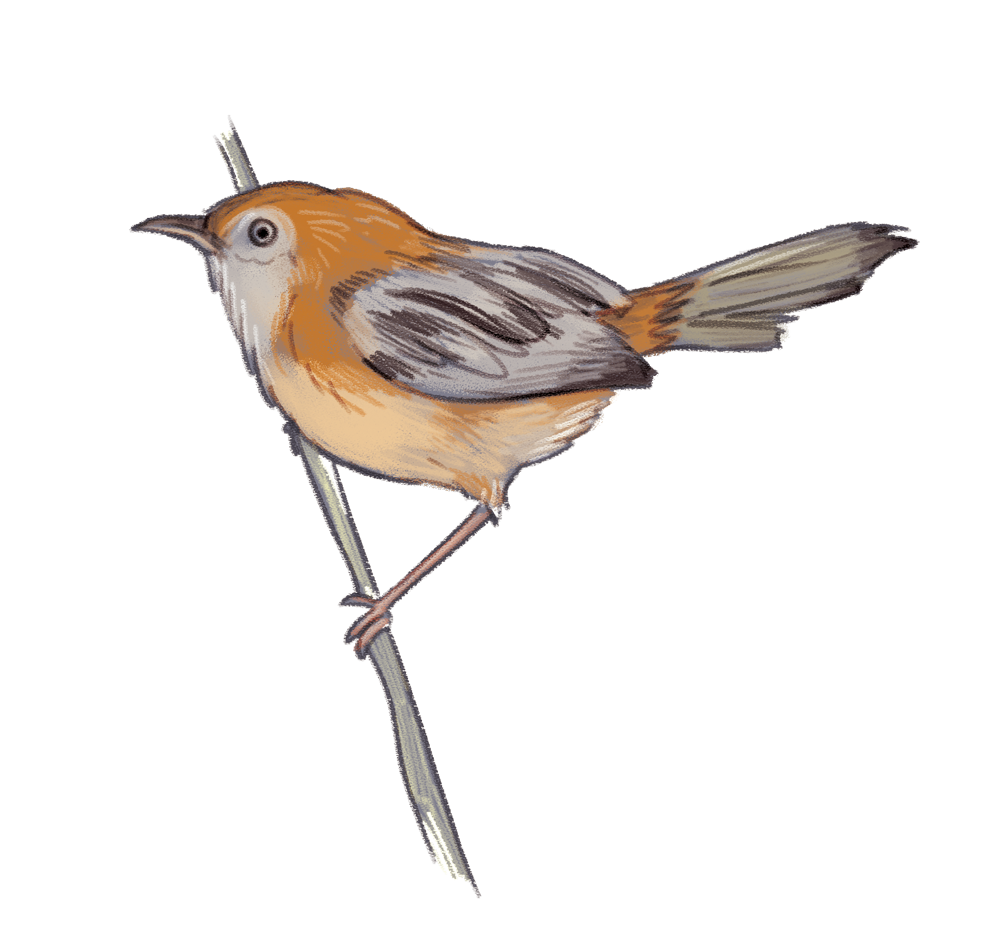 little-grassbird.png