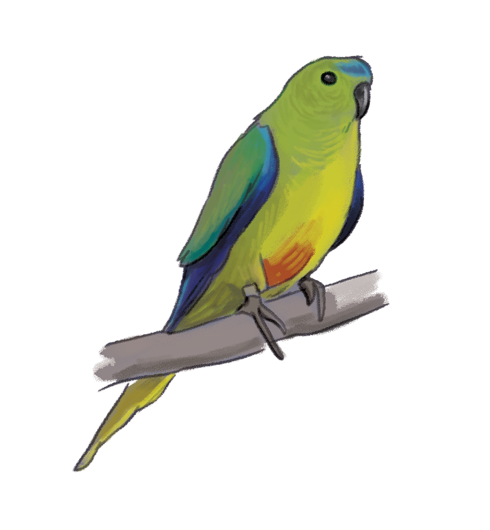 orange_bellied_parrot.png