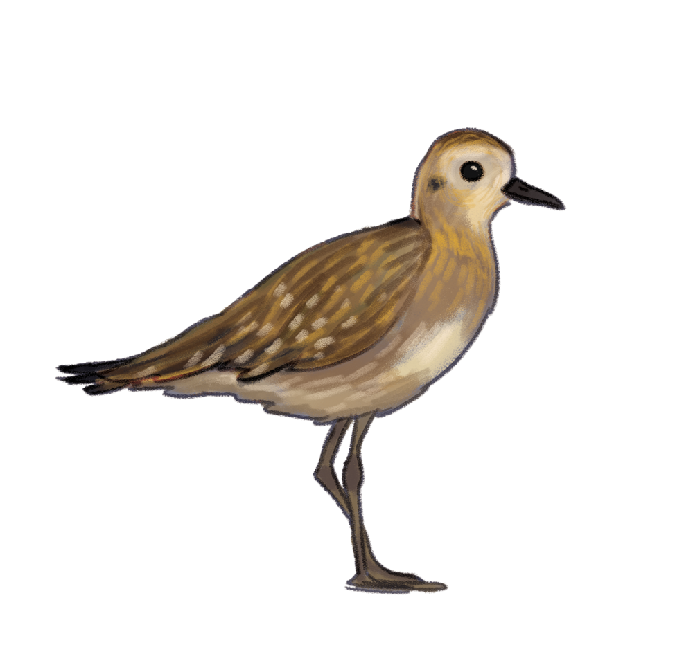 pacific-golden-plover.png