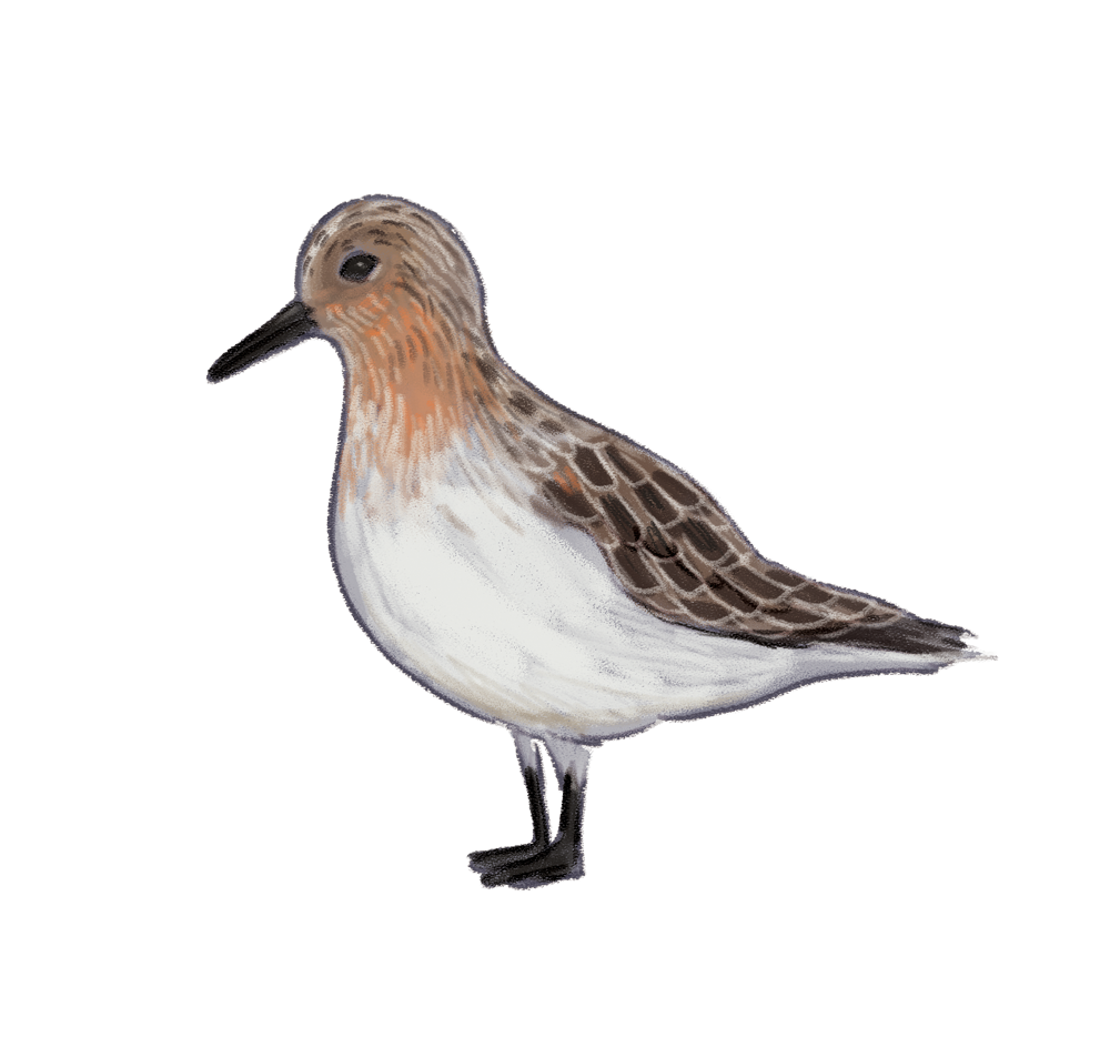 red-necked-stint.png