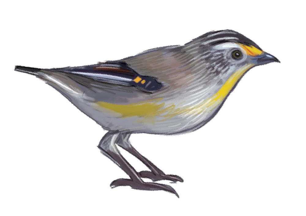 Striated-Pardalote.png