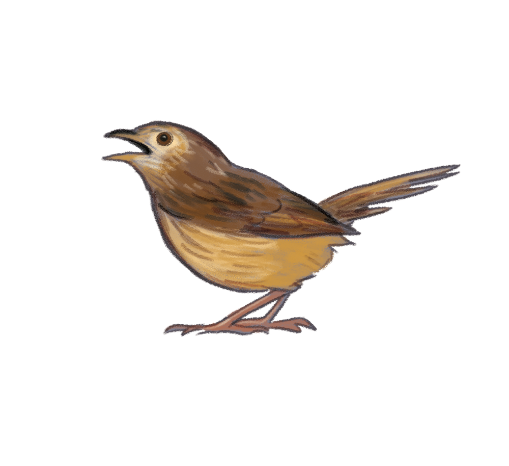 striated-fieldwren.png