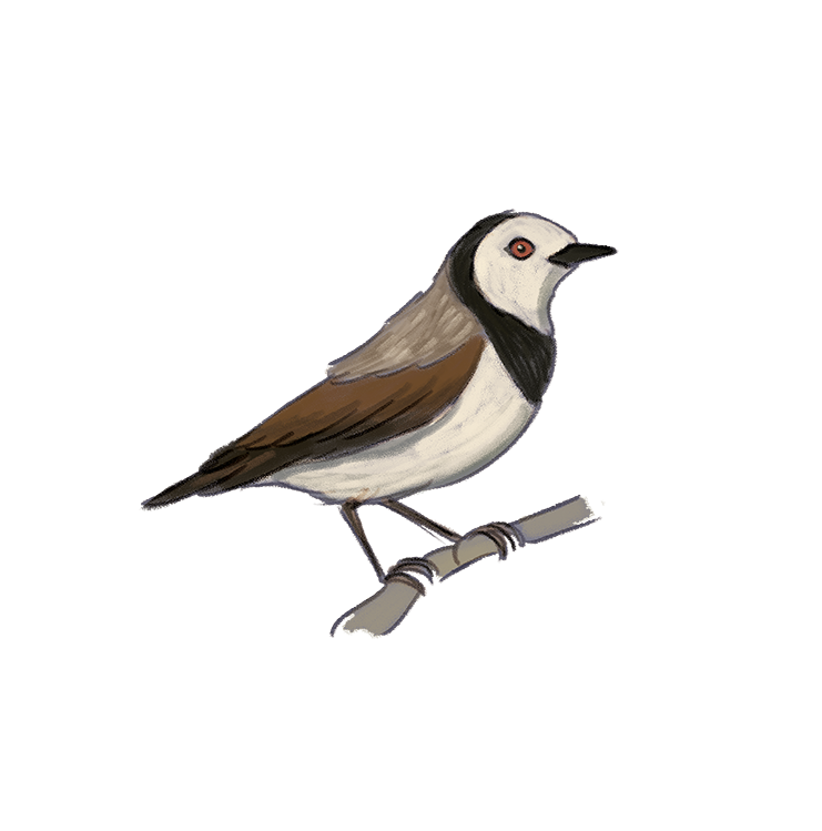 white-fronted-chat.png