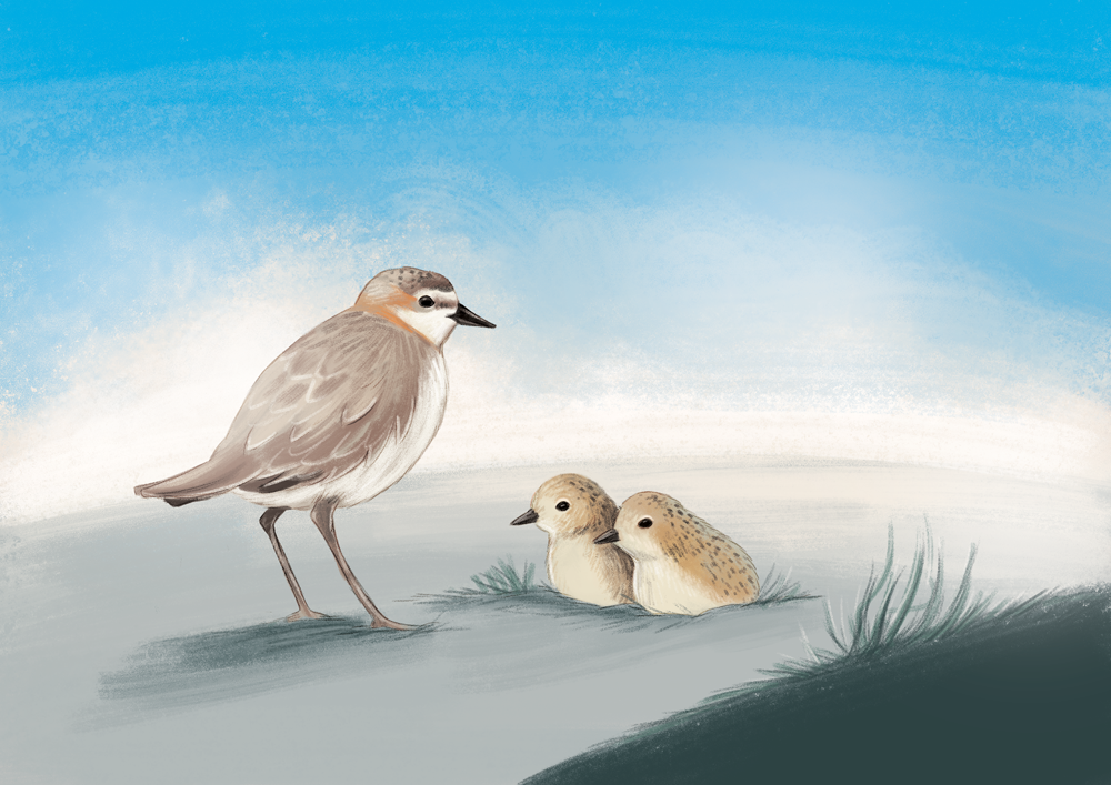 NRM-Red-Capped-Plover-WEB.png