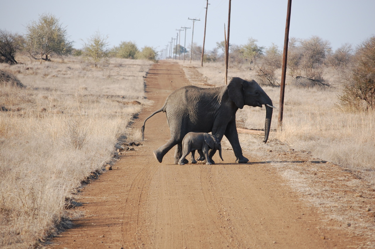 Crossing the road in Kruger Park, South Africa.