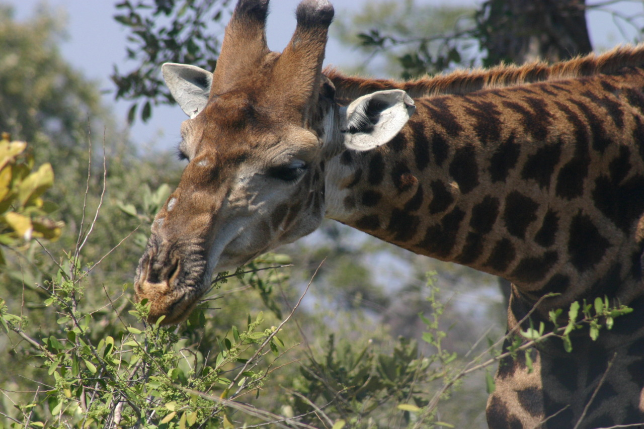 Giraffe eating lunch at Kruger Park, South Africa.