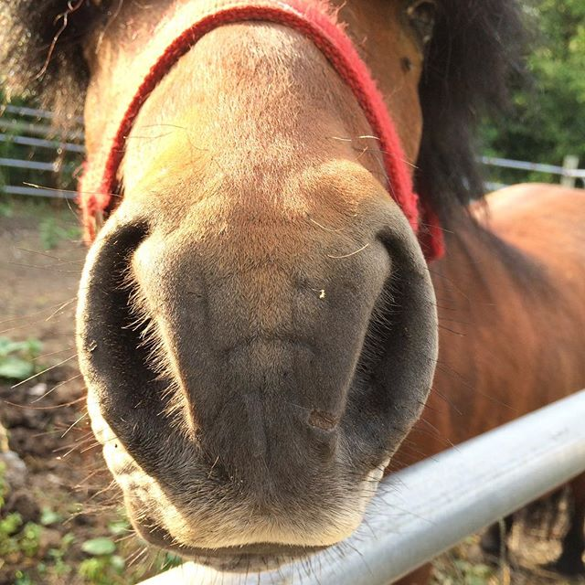 Handsome Hershel is going to live with his new family today. ❤️🐴❤️ I'm sure gonna miss snap-chatting this nose. #hershel #mylittlepony