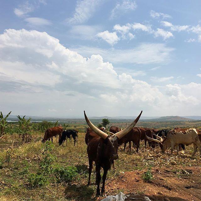 🐮🐮🐮🐮🐮's of Uganda