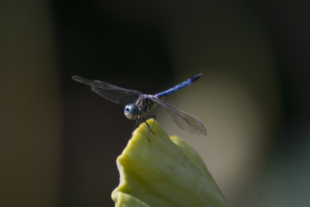 Dragon Fly on a Lotus Blossom