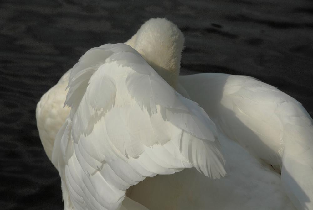 Swanula