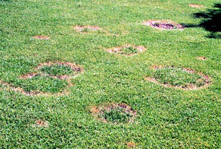 Ring Spot Disease. (University of Minnesota Extension photo)