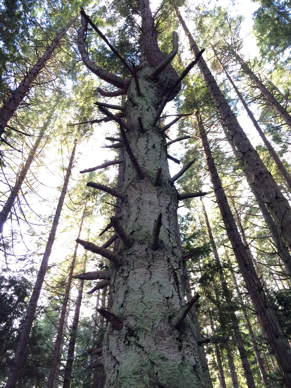 Fir tree, Saltspring Island, 2016