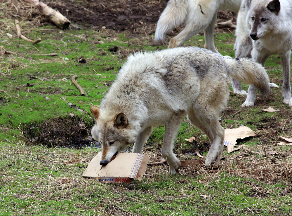 wolf and pizza box 2.jpg