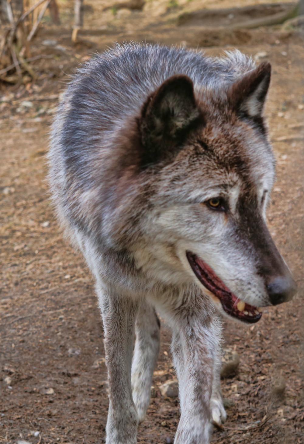 wolf ak 1.jpg