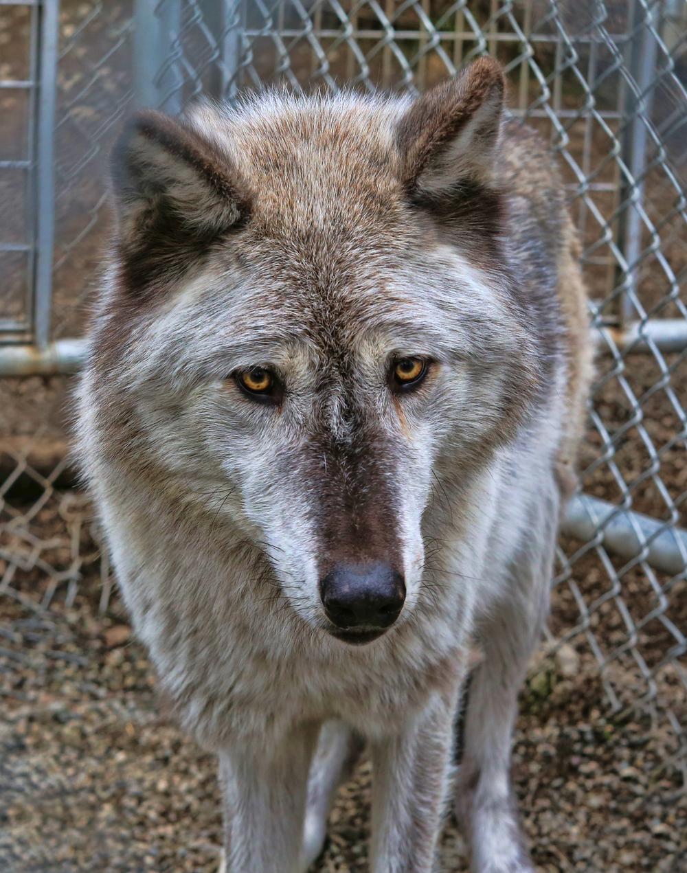 wolf ak 2.jpg