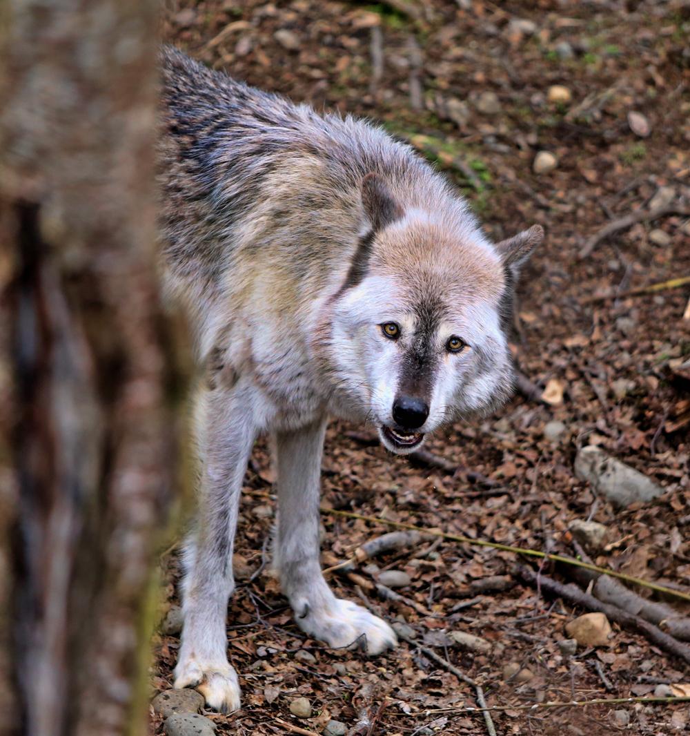 wolf ak 7.jpg