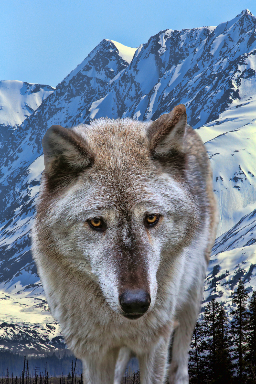 wolf ak 4.jpg