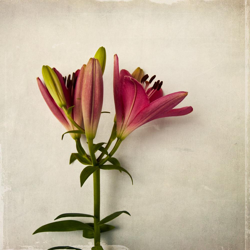 lily-7719.jpg