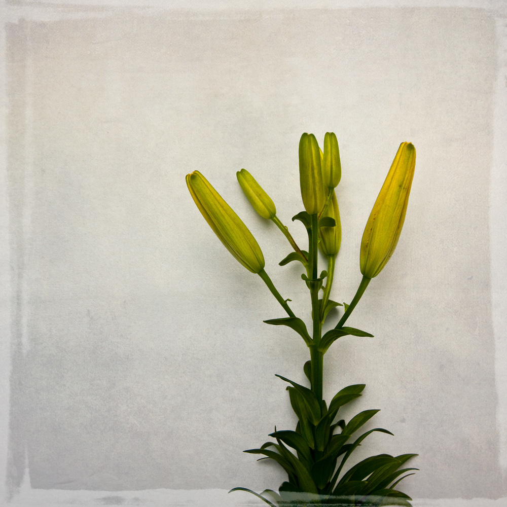 lily-7733.jpg