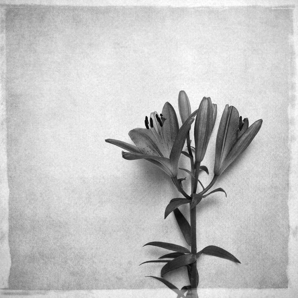 lily-7752-bw.jpg