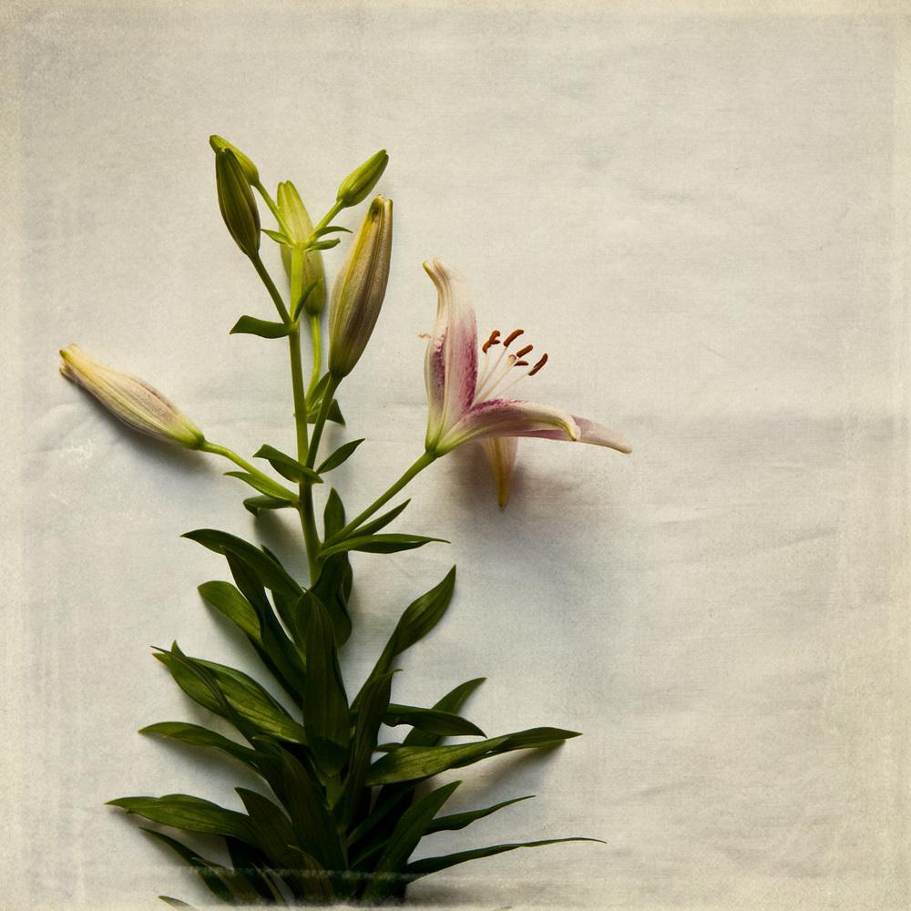 lily-7756.jpg