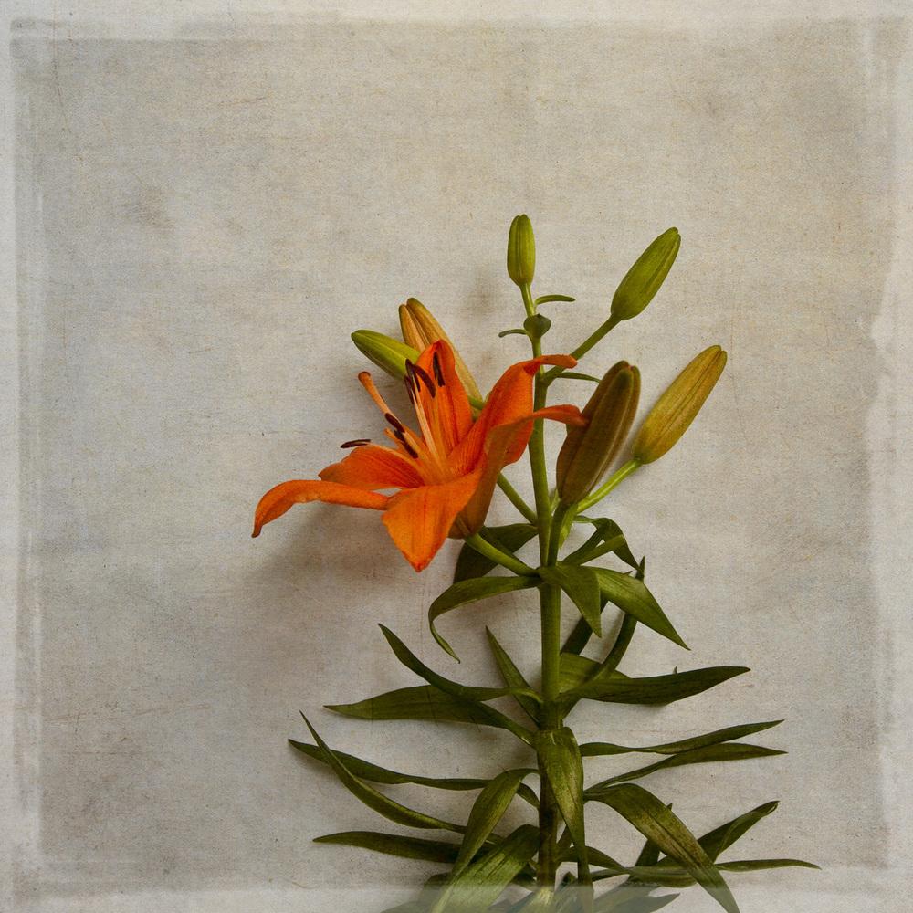 lily-7784.jpg