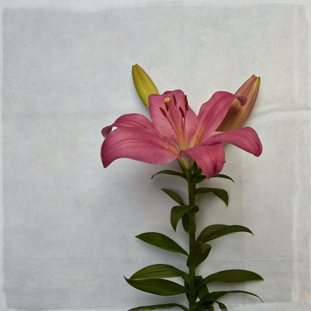 lily-7802.jpg
