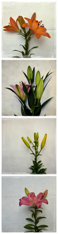 mckellar-botanical-lilies-02.jpg