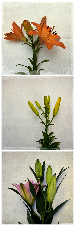 mckellar-botanical-lilies-03.jpg
