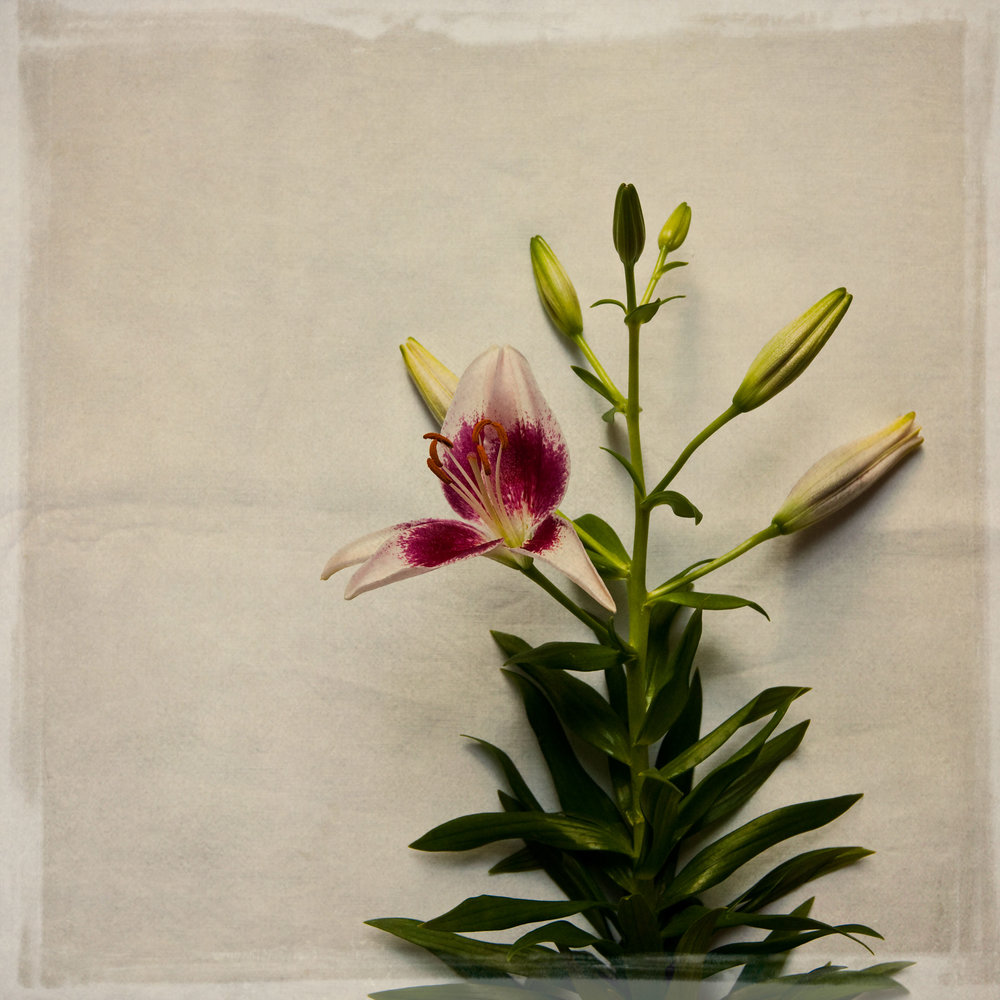 lily-7755.jpg