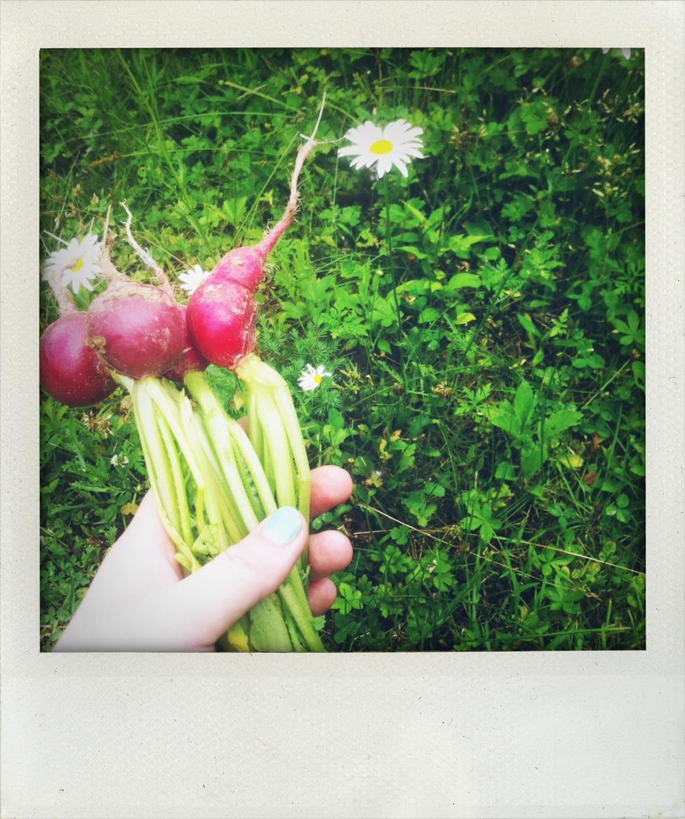 radishes.jpeg