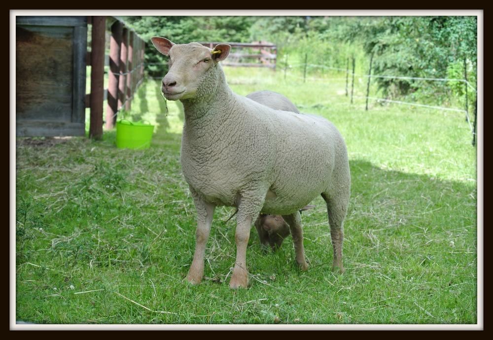 R.Supreme Ewe.jpg