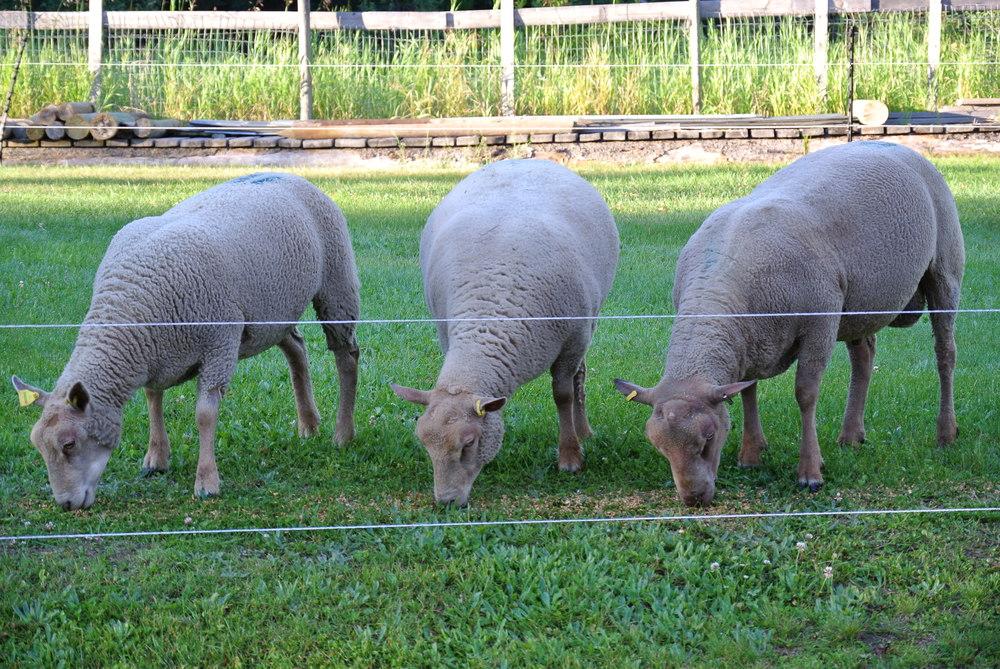 Charrollais Sheep - Four L Farm.ca